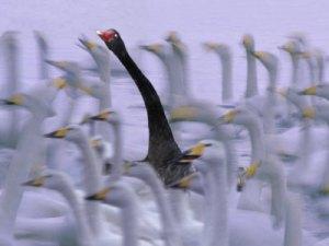 347su-keren-black-swan-among-white-swans-hokkaido-japan
